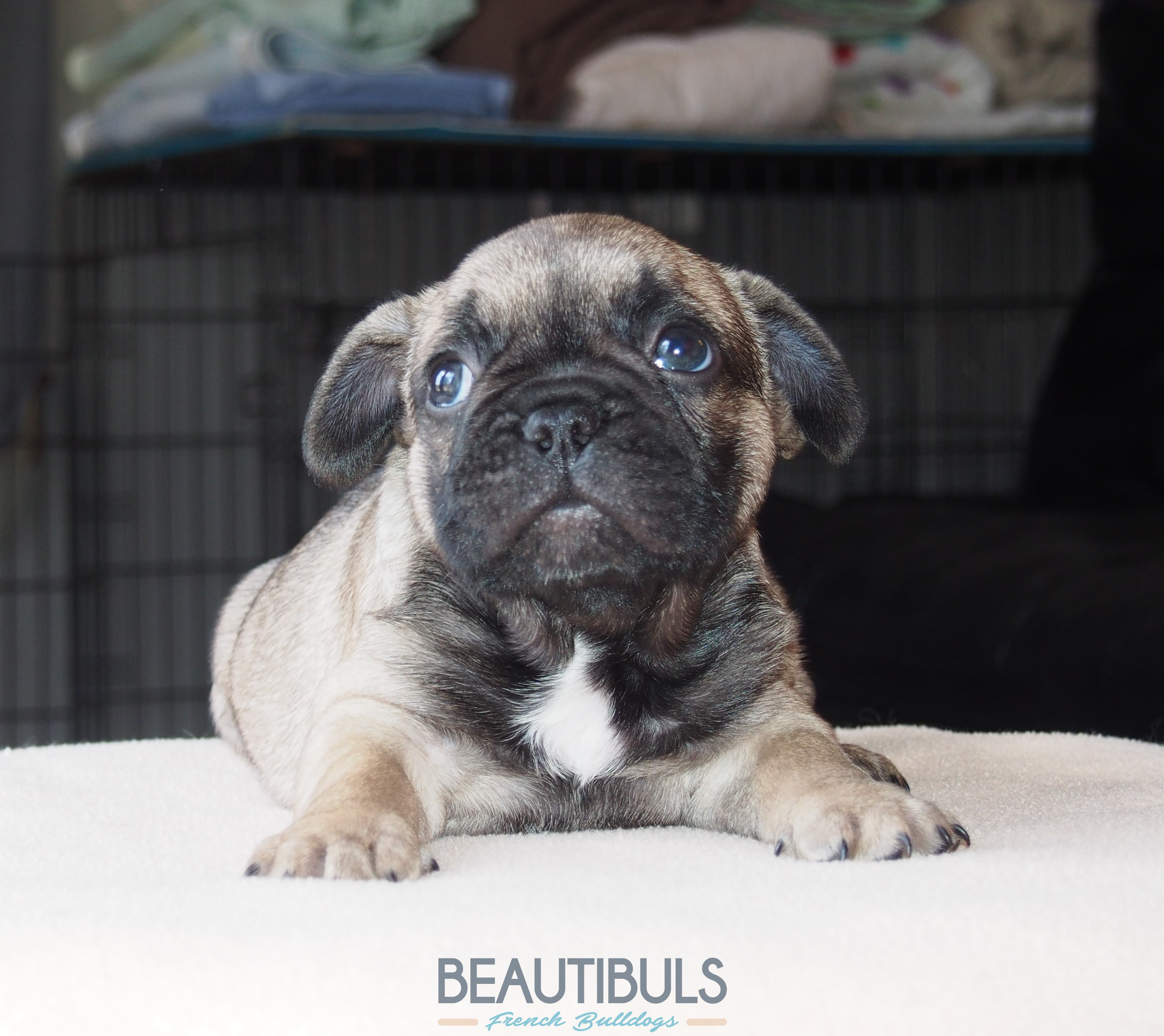 © Beautibuls French Bulldogs